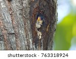 black thighed falconet... | Shutterstock . vector #763318924