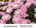 flowers  flowers chrysanthemum  ... | Shutterstock . vector #763327243