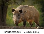 huge wild boar coming towards... | Shutterstock . vector #763381519