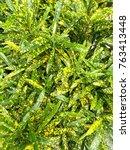 Small photo of The strip green croton, genus Croton or Codiaeum