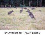 Kangaroo In The Park  Victoria...