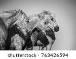 camargue horses monochrome... | Shutterstock . vector #763426594