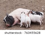fertile sow lying and piglets... | Shutterstock . vector #763455628