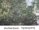 Pomegranate Tree Ripening