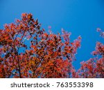 red maple leaves in autumn in... | Shutterstock . vector #763553398
