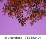 red maple leaves in autumn in... | Shutterstock . vector #763553404