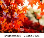 red maple leaves in autumn in... | Shutterstock . vector #763553428