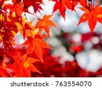 red maple leaves in autumn in... | Shutterstock . vector #763554070