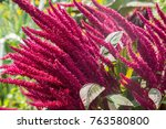 Amaranth Is Cultivated As Leaf...