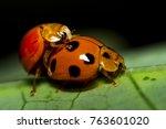 Ladybug  During The Season ...