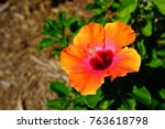Orange  Red And Pink Hibiscus...