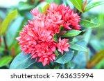 red ixora coccinea  west indian ... | Shutterstock . vector #763635994