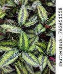 close up of calathea bella | Shutterstock . vector #763651558