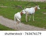 scimitar oryx  oryx dammah  ... | Shutterstock . vector #763676179