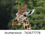 rothschild's giraffe  giraffa...   Shutterstock . vector #763677778