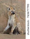 spotted hyena  crocuta crocuta  ... | Shutterstock . vector #763677790