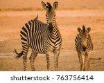 zebras in the savanna of in... | Shutterstock . vector #763756414