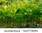 ginger plant foliage   Shutterstock . vector #763773094