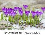 violet crocuses growing in the...   Shutterstock . vector #763792273