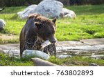 Grizzly Bear Eating A Trout...