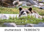 A Grizzly Bear Peers Over A...
