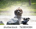a grizzly bear shakes off as it ... | Shutterstock . vector #763804384