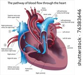 pathway of blood flow through... | Shutterstock .eps vector #76383646
