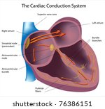 electrical pathways of the heart | Shutterstock . vector #76386151