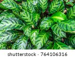 close up dumb cane leaves or... | Shutterstock . vector #764106316