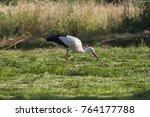 white stork in flight. white... | Shutterstock . vector #764177788