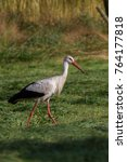white stork in flight. white... | Shutterstock . vector #764177818