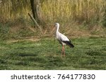white stork in flight. white... | Shutterstock . vector #764177830