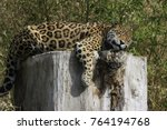Jaguar  Panthera Onca  Rest On...