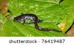 Small photo of Blue-spotted Salamander (Ambystoma laterale) in northern Illinois