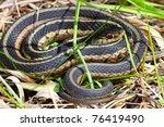 Garter Snake  Thamnophis...