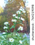 Small photo of white Michaelmas daisies on a sunny autumn day, wet flowers