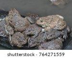 close up edible frogs amphibian ... | Shutterstock . vector #764271559