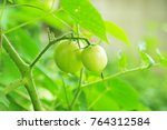 green tomatoes with nature... | Shutterstock . vector #764312584