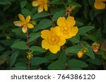 Bright Yellow Hypericum Patulu...