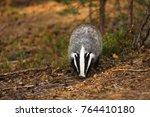 eurasian badger   meles meles   ... | Shutterstock . vector #764410180