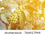 plantation of coffee tree with...   Shutterstock . vector #764417944