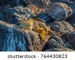 A Galapagos Land Iguana ...