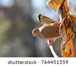Mourning Dove On Branch  ...