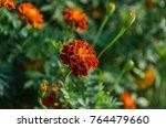 orange marigold flower full... | Shutterstock . vector #764479660