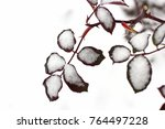 branches and leaves of a rose... | Shutterstock . vector #764497228