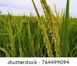 close up paddy rice field on...   Shutterstock . vector #764499094