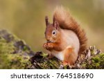 Red Squirrel Eating Nuts On A...