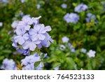 beautiful cape leadwort  white... | Shutterstock . vector #764523133