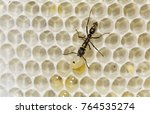 Small photo of Ant, Formicidae, ant on bee hive with bee larva as prey, The Inn at Chachalaca Bend, Cameron County, Rio Grande Valley, Texas, USA, May