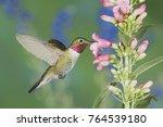 broad tailed hummingbird ... | Shutterstock . vector #764539180